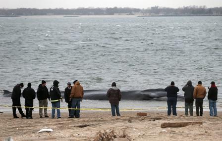 Ballena-de-18-metros-aparece-varada-con-vida-en-playa-de-Nueva-York