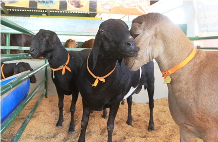 Crece-la-oferta-y-demanda-de-los-caprinos-y-ovinos