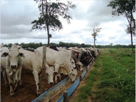 Dieta para engorde de vacas