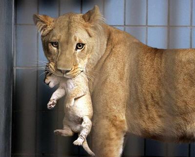 Zoologico-de-Dinamarca-sacrifico-a-4-leones-saludables-