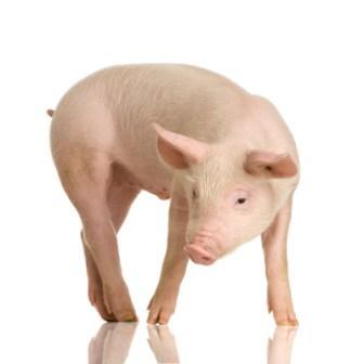 Cerdos-de-exportacion