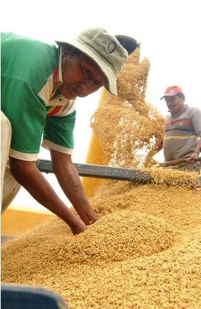 Mercado-interno-se-abastecera-de-maiz-y-arroz-