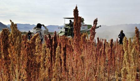 La-produccion-de-quinua-cae-un-25%-en-bolivia