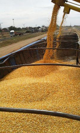 Garantizan-trigo,-maiz-y-arroz-el-2017-