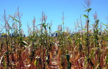 Detectan-semillas-de-maiz-hibridas-ilegales-