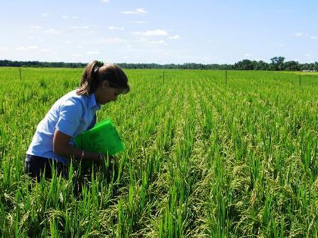 La-meta-es-150-mil-hectareas-de-arroz