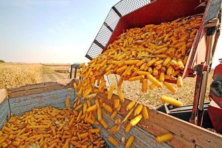 Aseguran-provision-de-maiz-para-el-mercado-interno
