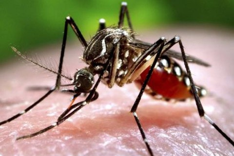 Los-mosquitos-pueden-transmitir-zika-a-sus-huevos-