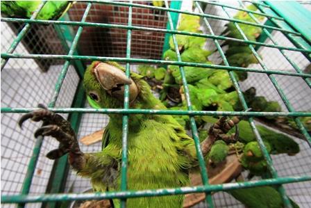 Animales-silvestres-fueron-incautados-el-fin-de-semana