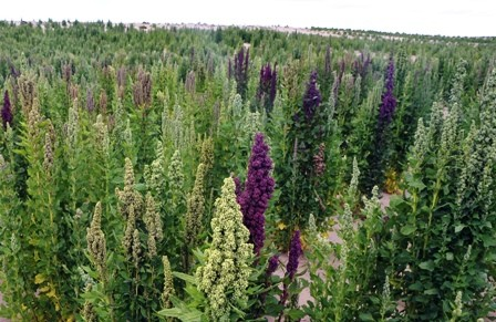 Cultivo-de-quinua-dano-400-mil-ha-de-tierra