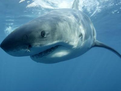 Australia:-Evacuan-en-bote-a-un-buzo-atacado-por-un-tiburon