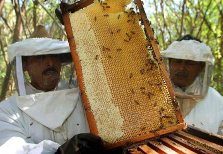 Apicultores-exportaran-6-Tn-de-miel-a-EEUU