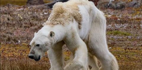 VIDEO:-Oso-polar-agonizante-te-hara-entender-los-efectos-del-calentamiento-global