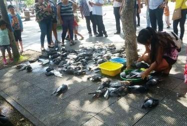 Mortandad-de-palomas,-presumen-envenenamiento