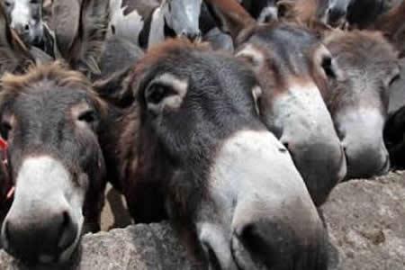 Encarcelan-a-8-burros-por-comerse-las-flores-de-un-jardin-