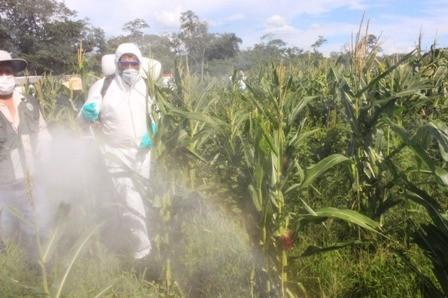 Langostas-afectan-cultivos-de-pasto-y-sorgo-en-Boyuibe