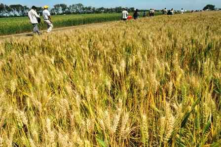 Produccion-de-trigo-cubrira-26,6%-del-mercado-interno