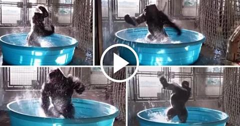 El-breakdance-de-un-gorila-en-el-agua-arrasa-en-las-redes