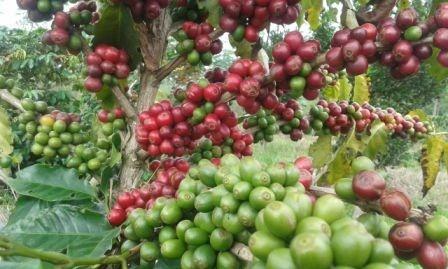 Santa-Cruz-expande-sus-semillas-de-cafe-en-el-pais