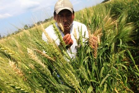 Preven-mayores-rendimientos-de-trigo