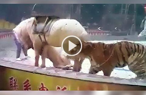 Un-tigre-y-una-leona-atacan-a-un-caballo-en-plena-funcion-de-circo