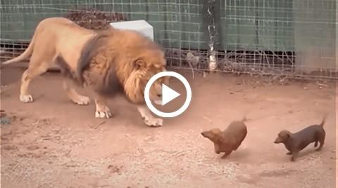 Vea-la-increible-reaccion-de-un-leon-ante-dos-perros-salchicha