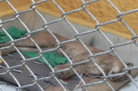 Reportan-que-puma-silvestre-encontrado-en-Oruro-murio-por-estres-post-captura