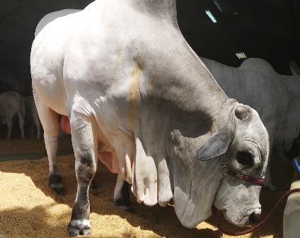 Ganaderos-exportan-genetica-bovina