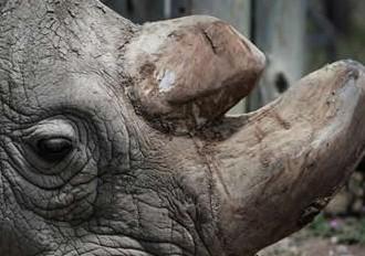 Muere-Sudan,-el-ultimo-rinoceronte-blanco-del-norte