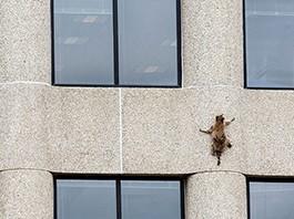 Un-mapache-trepa-un-edificio-de-23-pisos-y-es-sensacion-en-las-redes-sociales
