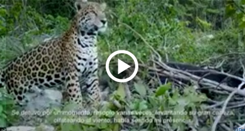 Video-advierte-del-peligro-de-arrebatar-el-habitat-del-jaguar