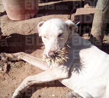 Manada-de-puerco-espines-ataca-a-dos-perros-y-les-causa-graves-heridas