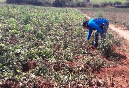 Heladas-afectan-1.500-hectareas