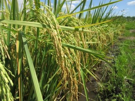 Bolivia-en-la-cola-con-menor-produccion-de-arroz-en-Sudamerica