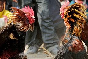 -Arrestan-a-ocho-personas-y-aprehenden-a-una-por-propiciar-pelea-de-gallos-en-Oruro