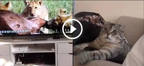 Mirá la reacción de un gato al ver cómo leones devoran a su presa