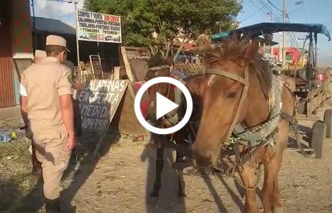 Inician-decomiso-de-caballos-maltratados-en-el-Plan-3000