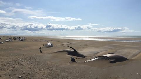Hallan-50-ballenas-muertas-en-una-playa-de-Islandia