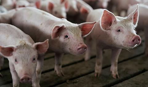 Experto-cirujano-afirma-que-los-corazones-de-cerdos-podrian-ser-trasplantados-a-los-humanos