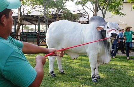 Brandon-FIV-del-Monte,-el-bovino-mas-pesado