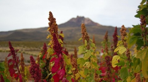 Proponen-desarrollo-agroindustrial-de-quinua-en-el-altiplano