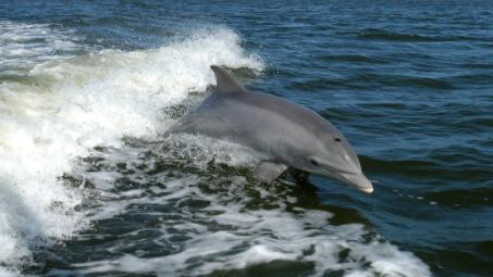 Científicos estudian qué convirtió a un delfín en un cruel asesino