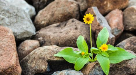 Una flor evoluciona para esconderse de su mayor depredador (el ser humano)