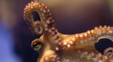 Encuentran en Japón un raro pulpo con 9 tentáculos