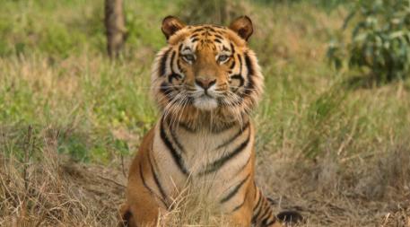 Un-tigre-mata-a-una-nina-de-15-anos-que-recogia-algodon-en-la-India