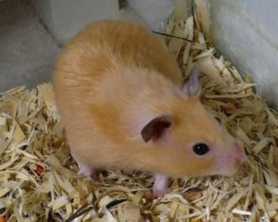 Experimento-exitoso-con-hamsteres-promete-un-efectivo-tratamiento-contra-el-coronavirus