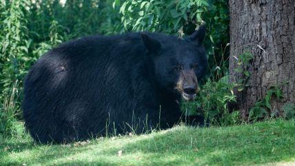Multan-y-condenan-a-una-mujer-por-haber-dejado-entrar-a-un-oso-salvaje-a-su-casa