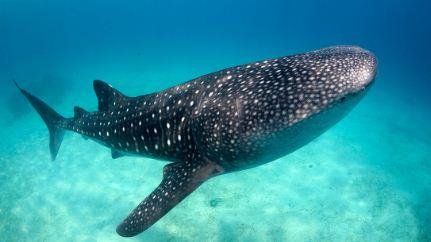 Revelan-que-el-tiburon-ballena-cuenta-con-dientes-en-los-ojos