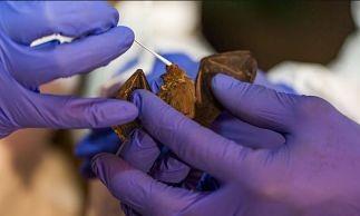 -China:-Encuentran--cientos--de-nuevos-coronavirus-en-murcielagos