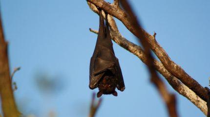 Se viraliza la imagen de un murciélago 'de tamaño humano' encontrado en Filipinas